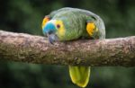 Blue-fronted-Amazon-parrot-bird.jpg