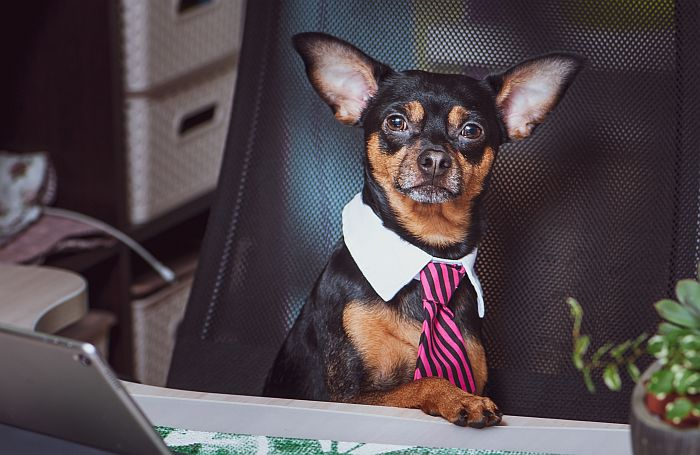 Dog-office-worker-computer-business-chihuahua