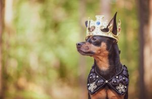 dog-crown-king-chihuahua.jpg