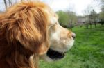 golden-retriever-dog-staring-off-into-distance.jpg