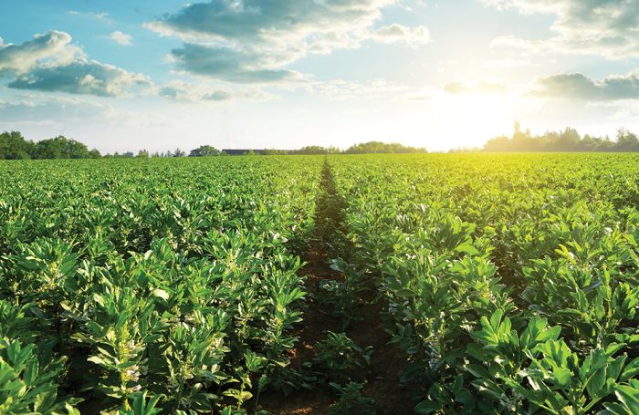 Image result for beans and pulses plantation