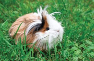Guinea-pig-outside-grass