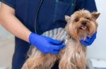Yorkshire-Terrier-dog-vet-veterinarian.jpg