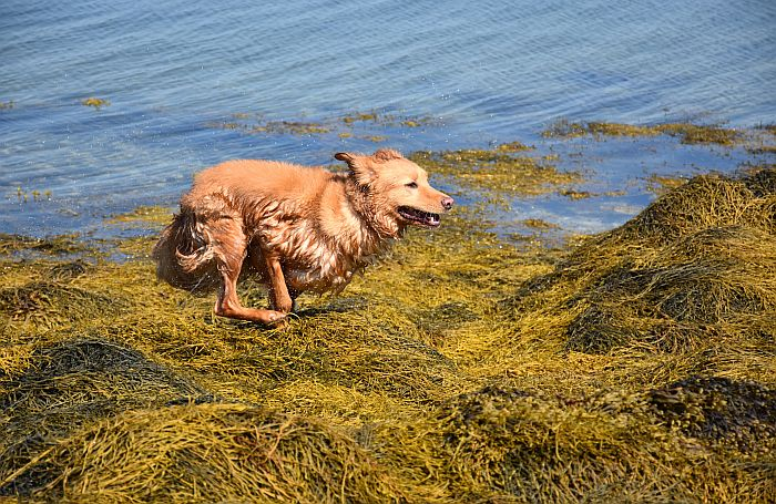 Retriever dog run seaweed ocean