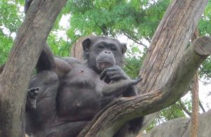 chimpanzee-sitting-tree.jpg