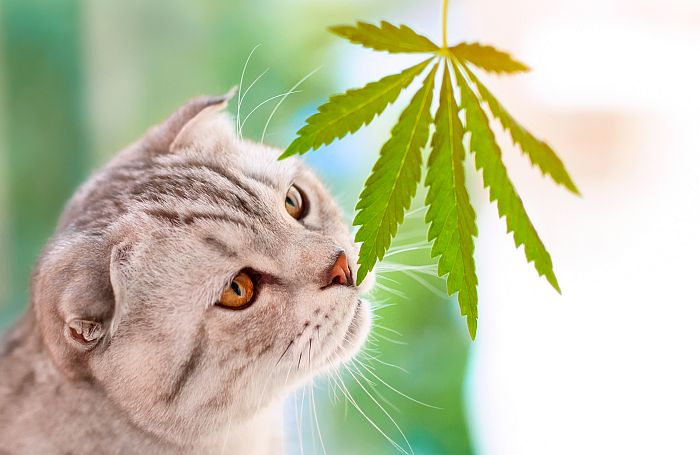 CBD Oil for Cats: The Ultimate Guide ...catological.com