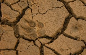dog-foot-print-dry-mud.jpg
