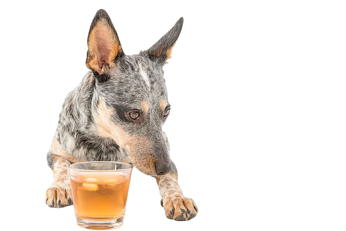 Blue-heeler-dog-with-glass-scotch-whiskey-liquor-algae-omega-3