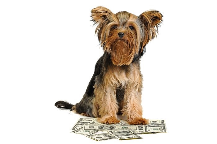Yorkshire-terrier-money-uk-market-business