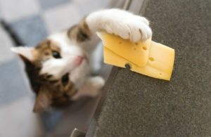 Cat-interested-in-cheese