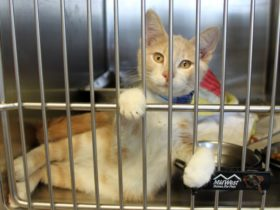 Orange cat in animal shelter cage