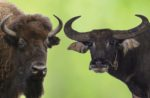 Bison-water-buffalo-comparison