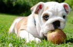 Dog-with-apple