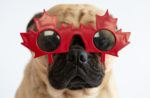 pug-with-canada-glasses