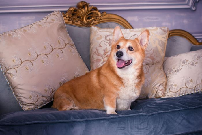Corgi dog english uk britain luxury
