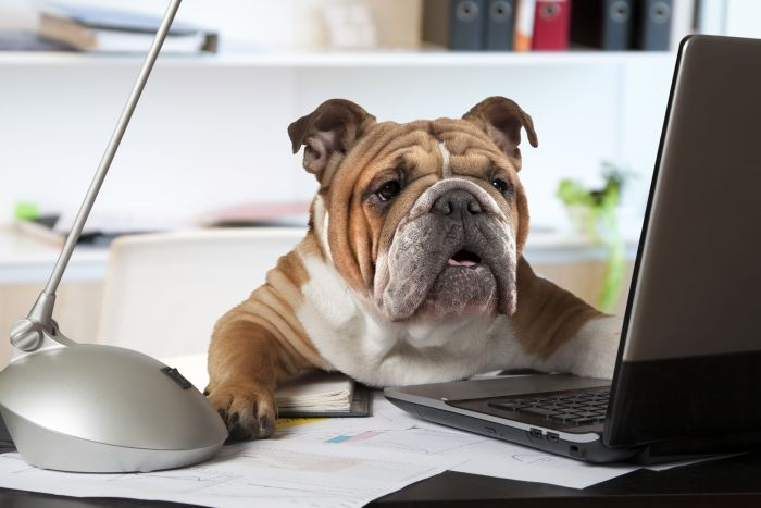 English bulldog office business