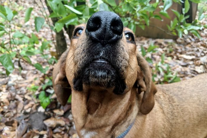 brown dog nose close muzzle extreme