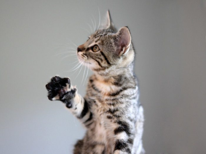 cat-paw-in-air
