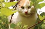 Calico cat lying in vineyard leaves