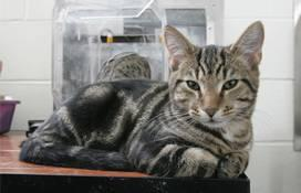 A short hair tabby cat laying on top of a table