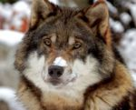 Orijen-wolf-dog-dna-1403PETbio.jpg