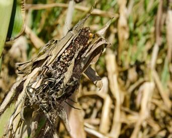Petfood at increased aflatoxin risk from US drought