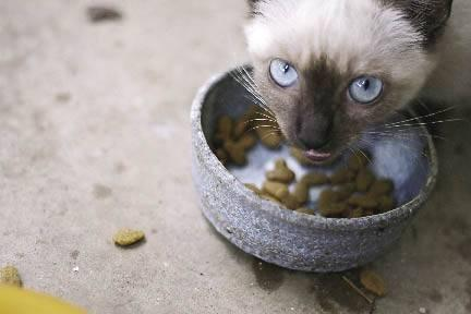 Siamese cat eating food out of a bowl