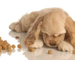 Golden cocker spaniel puppy eating dry dog food on floor