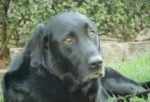 retriever-dog-1312PETwally.jpg