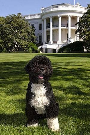 white-house-dog-1208PETboobama.jpg