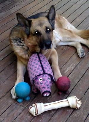 german-shepherd-dog-1206PETiamspetfoodcontest.jpg