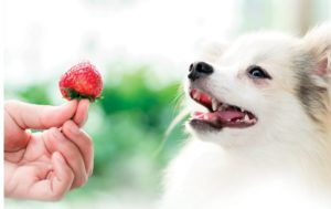Dog and strawberry